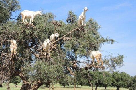 Neticat, ka kazas dzīvo kokos? Šīs bildes pierāda pretējo