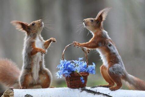 Krievu vāveres sagaida pavasara saulīti ar romantiskām dāvanām