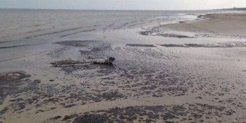 Jūrmalā pludmalē izpeld mazs ronēns