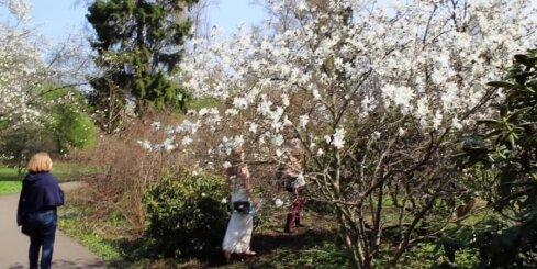 Botāniskajā dārzā zied magnolijas
