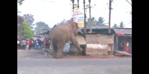 Indijā satrakojies zilonis sagrauj vairāk nekā 100 māju