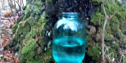 Bērzu sulu tecināšana Jūrmalā