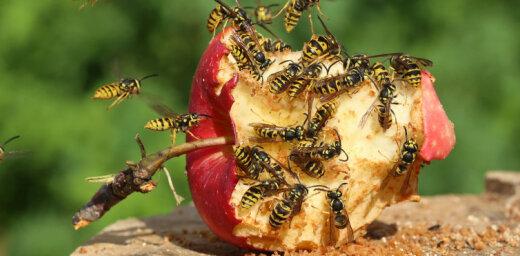 19 pārkarsuši un četri kukaiņu sadzelti cilvēki nonāk slimnīcā