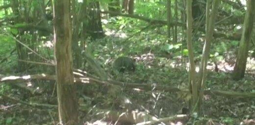 Video: Āpšu pāris laiski pastaigājas dabas parkā Aizkrauklē