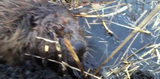 Video: Lasītāju ūdenstilpnes krastā pārbiedē bebrs