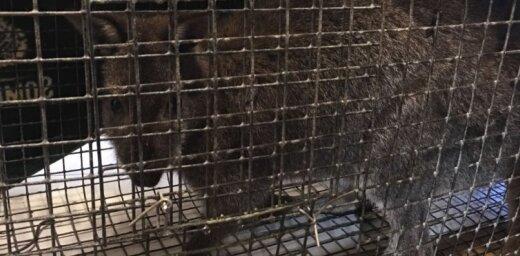 Video: Spelgonī izmukušais Iecavas ķengurs notverts un nogādāts siltumā (plkst. 15.32)
