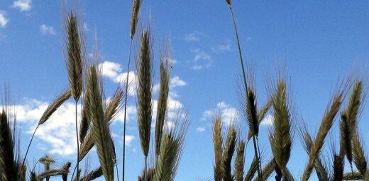 Ilgstošā sausuma dēļ Ventspils novadā lūdz izsludināt ārkārtas situāciju lauksaimniecībā