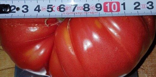Foto: 'Delfi' lasītājs izaudzējis tomātus-milžus