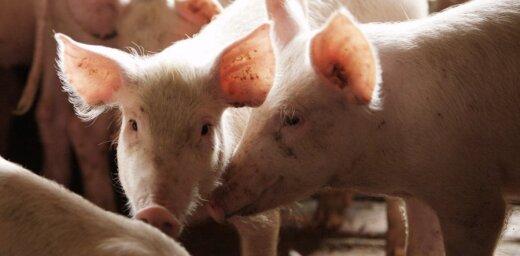 PVD: Mājas cūku saslimšanā ar ĀCM visbiežāk vainojama zaļbarība