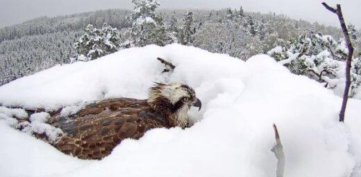 ФОТО, ВИДЕО: Гнездо орлов, в котором самка высиживает яйца, завалило снегом
