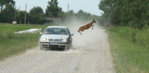 Neticams foto: Ceļu akrobātikas brīnumi brieža izpildījumā