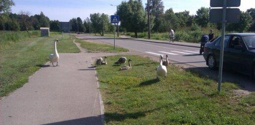 Gulbju ģimene pie Liepājas rada transporta sastrēgumu (video)