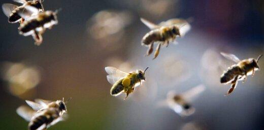 Laika apstākļu dēļ daļai biškopju var sarukt ievāktā medus apmērs, uzskata biedrība