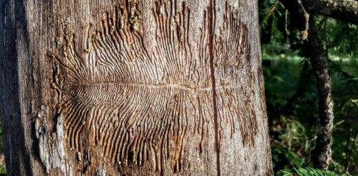 Dabas rotaļas: mizgrauži koka stumbrā 'rada' māksliniecisku zīmējumu