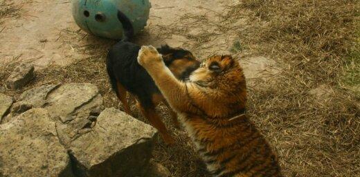 Kas notiek, ja Zoodārza tīģera mājvietā ieklīst suns? (aculiecinieka foto)