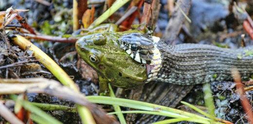 ФОТО: Время обедать! Уж проглотил большую лягушку
