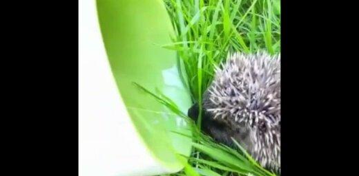 Video: Aculiecinieci pārsteidz dūšīgs ūdens dzērājs – ezītis