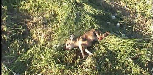 Pļaujot zāli nogalina stirnas mazuli (video)