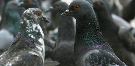 Через Псковскую область не разрешили провезти из Латвии 300 голубей