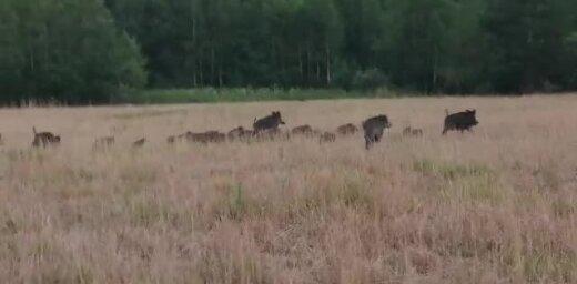 Video: Kupls mežacūku pulks Rēzeknes pļavās