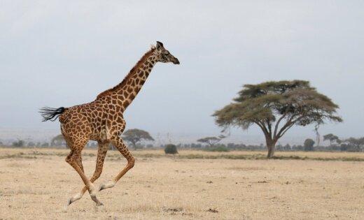 Международный союз охраны природы объявил овымирании жирафов
