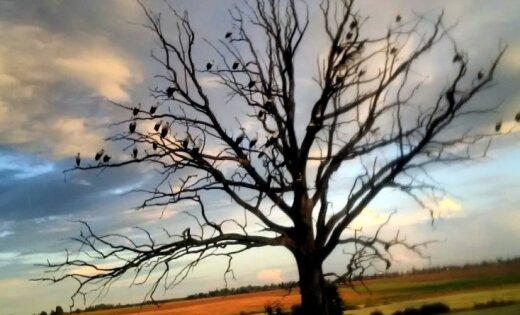 Foto: Jaunie stārķi Latvijas pļavās trenējas promlidošanai