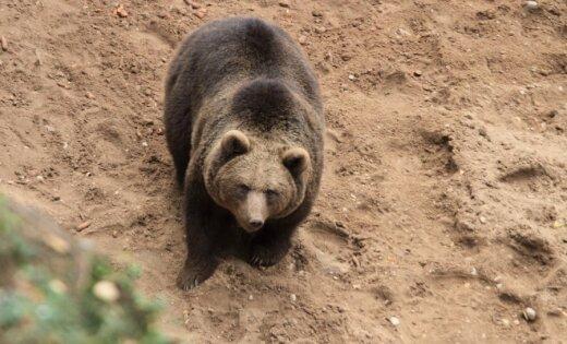 Lācenes Mades lieta: lūdz policijai izmeklēt pretrunīgo lāča nošaušanu