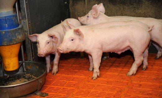 Asociācija: Latvijas cūkkopjiem patlaban nav gaļas realizācijas problēmu