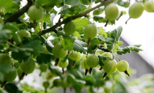 Latvijā izaudzē ērkšķogu šķirni gandrīz bez ērkšķiem