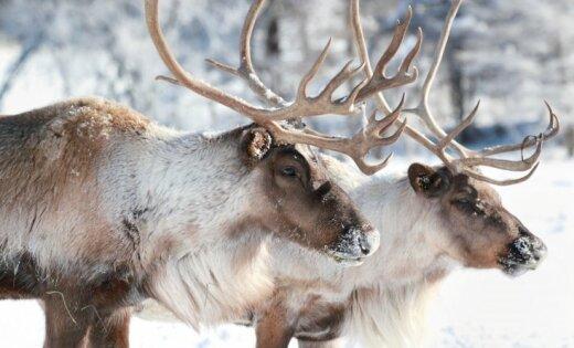 Ziemeļbriedis Rūdolfs visdrīzāk ir mātīte. Ko vēl mēs nezinām par 'vecīša' labāko draugu?