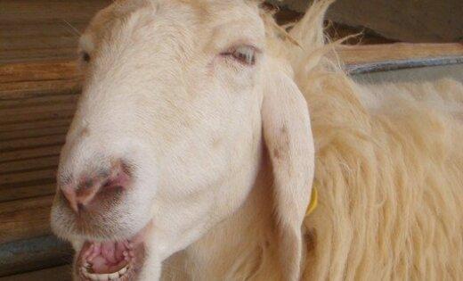 Ogrē spraigas pakaļdzīšanās rezultātā aizturētu vīrieti notiesā par aitas zādzību 1992. gadā