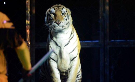 ВИДЕО: В Крыму состоялся поединок по самбо между человеком и тигром