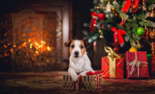 Zem eglītes mazs kaķītis. Kāpēc nedāvināt dzīvnieku Ziemassvētkos