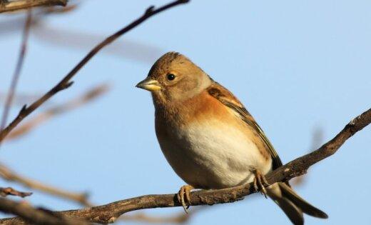Ielidojot aizsargstiklos uz Vairogu pārvada, iet bojā simtiem putnu