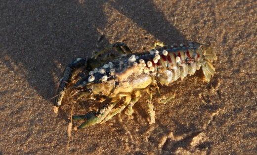 Рак, которого на пляже нашла читательница, оказался смертельно опасным для местных видов