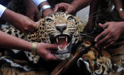 Леопард десять часов терроризировал школу в Индии
