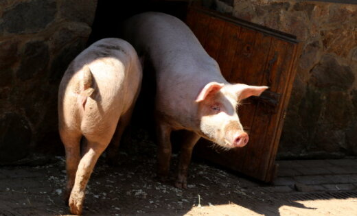 За ликвидацию 6000 свиней Latgales bekons получит компенсацию от государства