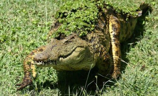 Mozambikā piecmetrīgs krokodils nonāvē 19 gadus vecu futbolistu