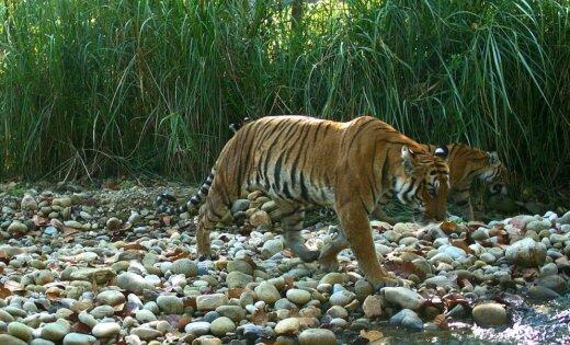 ВИндии погибла самая известная вмире тигрица