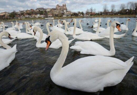 При попытке спасти лебедя в Бельгии погибли два водолаза