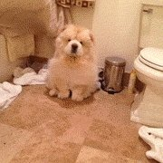 Kā izžāvēt čaučau suni!...