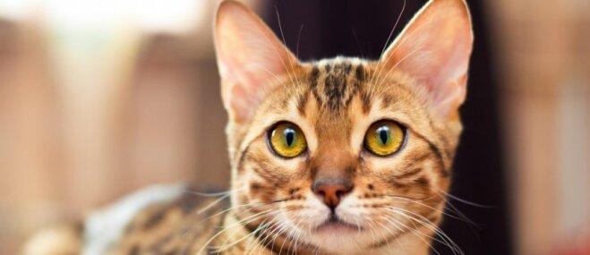 Mierīgāki un attapīgāki – kā mājas mīluļi atšķiras no savvaļas kaķiem