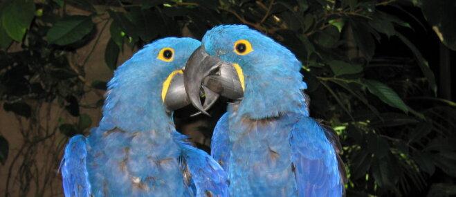 Papagaiļi – eksotisko vēsmu vēstneši
