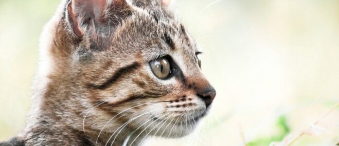 Kaķu ķermeņa valoda: ko 'stāsta' ausis