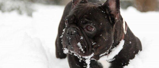 Video: 'Šļūcošais' buldogs bauda ziemas priekus
