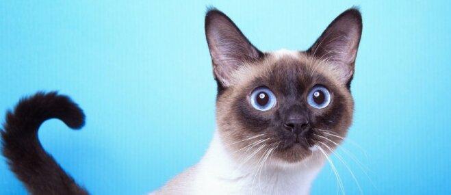 Kaķu šķirne: Siāmas kaķi