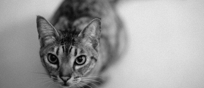 Kaķu šķirne: Ocelotkaķis