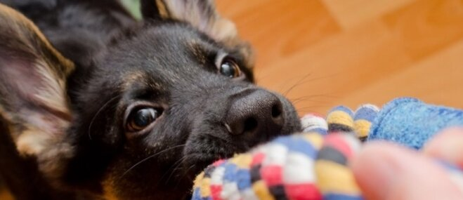 Pazīmes, kas var liecināt – suns ģimenē ir līderis