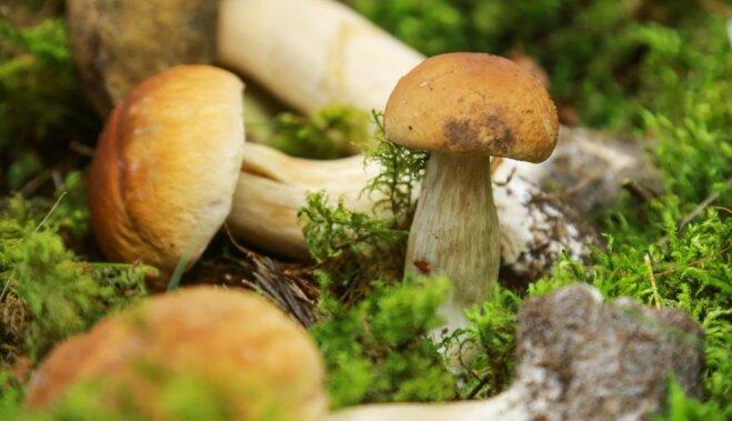 Личные боровики и подосиновики: как в саду посадить грибы (и когда ждать урожая)