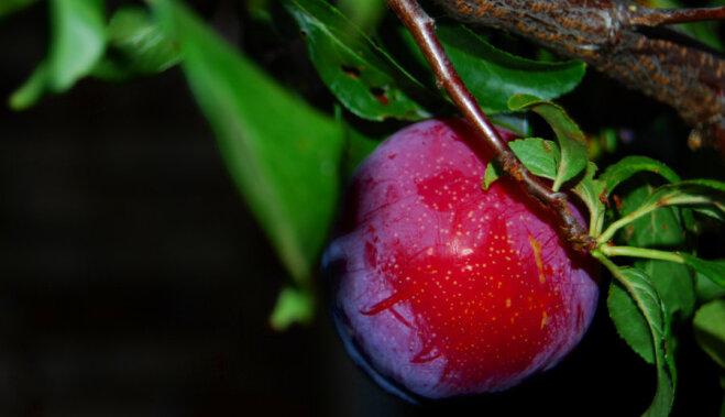 Как сварить вкусный компот из слив на зиму